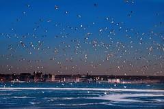 the birds (Gaby Swanson, Photographer) Tags: winter sunset ice water birds landscape photography frozen cityscape lakeerie erie presqueisle eriepa palandscape paseascapes