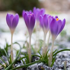 Spring 1 (NoNickMan) Tags: flower macro germany de bayern deutschland bavaria spring sony blumen crocus blume krokus frühling mantel sigma2428 a7rii