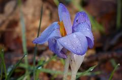 Crocus (joeke pieters) Tags: flower droplets drops ngc crocus krokus bloem druppels platinumheartaward panasonicdmcfz150 1260449