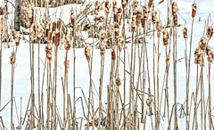 Bushy Tails (Cindy's Here) Tags: winter snow ontario canada canon dry cattails bullrushes bushy ansh shuniah scavenger7