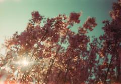 As The Wind Calls (thomas_anthony__) Tags: camera pink flowers blue trees summer sky sun sunlight flower color tree film sunshine analog 35mm lens cherry gold 1 spring xpro crossprocessed exposure minolta wind kodak blossoms mc 200 17 analogue dogwood breeze expired goldenhour sunflare kodakgold200 rokkorpf skyporn x370s f55mm