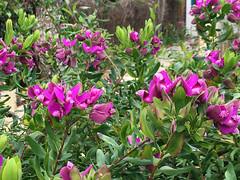 Polygala Myrtifolia (RobW_) Tags: garden march sunday greece zakynthos tsilivi 2016 polygala myrtifolia 27mar2016