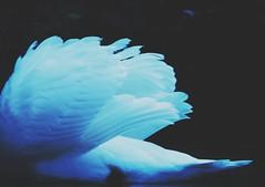 W I N G S (Peter Tatsis) Tags: ocean old travel autumn sky ice nature polaroid photography sadness swan wings perfect sad folk young exhibit pale retro exotic indie romantic swag blackswan paleblue londoncity tumblr palegrunge