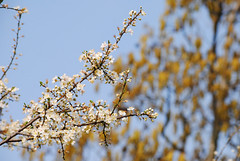 Blackthorn Blossom (Mark Wordy) Tags: flowers tree spring blossom blackthorn prunus spinosa