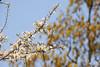 Blackthorn Blossom (Mark Wordy) Tags: flowers tree spring blossom blackthorn prunus spinosa