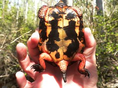 a spotted turtle (Just Back) Tags: sc animal skin head turtle tail shell science spots scales carolina alive dorsal biology inventory herp wetland vertebrate herpetology schildkrte lateral plastron carapace clemmysguttata ventral colleton reprile schildkrote