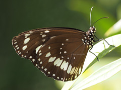 Common Crow (Vas Smilevski) Tags: nature butterfly insect ngc butterflies australia insects olympus nsw core westernsydney euploea commoncrow euploeacore getolympus olympusau olympusomdem1 mzuiko300mmf4pro