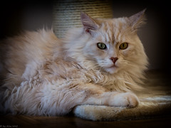 Going Easy (Alex M. Wolf) Tags: cat canon relax feline post sid gato katze gatto sidney kater scratching cato felin kratzbaum felidae eos5dmkiii alexmwolf