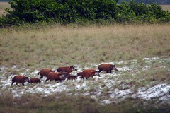 Red river hogs in Loango National Park in Gabon (inyathi) Tags: potamochoerusporcus redriverhog loango gabon naturescall treeofhonor africananimals nationalpark africa