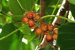 baleteng baging (INDIAN BANYAN TREE) (DOLCEVITALUX) Tags: plant tree leaves fauna flora philippines medicinalplants indianbanyantree baletengbaging