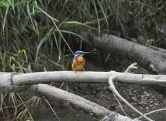Eisvogel 233 (juku50) Tags: vogel eisvogel