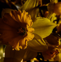 Daffs March 2016 (GOR44Photographic@Gmail.com) Tags: flower macro yellow petals daffodil fujifilm xf1 gor44