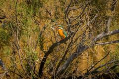 A Kingfisher with its catch. (malc1702) Tags: fish nature beauty birds wildlife kingfisher colourful sanctuary magicmoments rasalkhor fishinbeak nikond7100 tamron150600