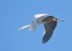 heading home (hennessy.barb) Tags: heron flying wings flight greatblueheron flyby aloft
