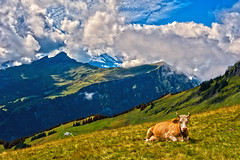 Posing  for me . Mnnlichen and Lauberhrn . Berner Oberland. Switzerland. No. 8456. (Izakigur) Tags: new summer alps green topf25 animal clouds gold switzerland cow milk peace cows hiking feel lait bern grindelwald alpen alpi berne holyland hdr thelittleprince paix berna berger berneroberland mnnlichen topf350 thesoundofmusic lauberhorn myswitzerland climbeverymountain alpene nikond700 nikkor2470f28 izakigur thejungfrauregion