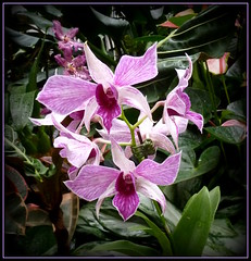 Pink orchids (edenseekr) Tags: orchids pa longwoodgardens