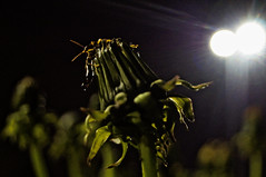 ([gegendasgrau]) Tags: street city light urban plant flower green nature lamp colors night lights trafficlight lampe licht darkness nightshot nacht bokeh pov natur pflanze atmosphere dandelion nightlight nightsky nightlife blume farben balz dunkelheit ambiance löwenzahn 2016 paarung matingseason forficulaauricularia gün nachthimmel ohrenkneifer strase courtshipdisplay atmo europeanearwig balztanz gemeinerohrwurm