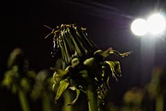 ([gegendasgrau]) Tags: street city light urban plant flower green nature lamp colors night lights trafficlight lampe licht darkness nightshot nacht bokeh pov natur pflanze atmosphere dandelion nightlight nightsky nightlife blume farben balz dunkelheit ambiance lwenzahn 2016 paarung matingseason forficulaauricularia gn nachthimmel ohrenkneifer strase courtshipdisplay atmo europeanearwig balztanz gemeinerohrwurm