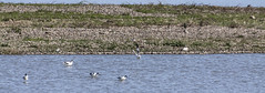 Avocet (25) (Mal.Durbin Photography) Tags: nature birds newport naturereserve newportwetlands maldurbin goldcliffnewport
