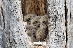 Three Great Horned Owlets, Lone Tree, Iowa [6326] (cl.lin) Tags: nature birds nikon midwest birding sigma iowa owls lonetree greathornedowls owlets sigma150600mm