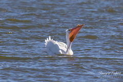 American White Pelican fishing sequence - 17 of 20