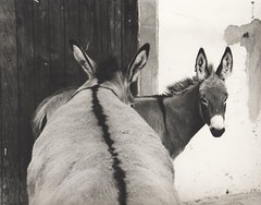 Two donkeys (Tuta1) Tags: donkey burro ear asno jumento mula orelha jegue orelhudo