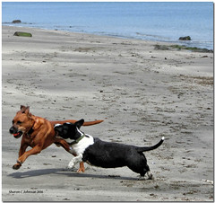 Launch Torpedo! (MyRidgebacks - Sharon C Johnson) Tags: dogs seadogs dogplay coth dogsonthebeach platinumheartsaward coth5 sharoncjohnsonphotography