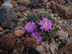 Aloinopsis spathulata DSC08264 (sierrarainshadow) Tags: spathulata aloinopsis