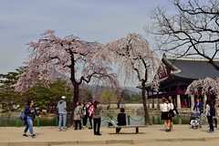 Springtime (withcamera) Tags: flowers trees seoul southkorea oldbuilding springflowers gyeongbokgung springtime  changgyeonggung  plumblossoms  nationalpalace         spring
