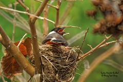DSC01500_DxO (teckhengwang) Tags: wild bird nature lens singapore g sony 77 sooty headed a77 bulbul glens sal70400g a77ii sonya77mkii a77mkii a77m2 a77mk2 a77mii