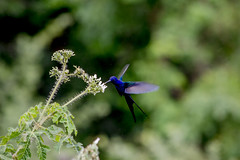 Hummingbird - Beija-Flor (sostenesmonteiro) Tags: bird nature birds nikon hummingbird natureza passarinho aves ave beijaflor passaro passaros passarinhos d5200 sostenesmonteiro totecmt