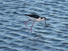 Black-necked Stilt (stonebird) Tags: windyday march blackneckedstilt himantopusmexicanus mudflat saltpan areab ballonawetlandsecologicalreserve img12032