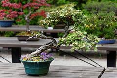 20160413-36-Bonsai at Kyoto Botanic Gardens (Roger T Wong) Tags: travel trees holiday japan kyoto bonsai botanicgardens 2016 canonef70200mmf4lisusm canon70200f4lis canoneos6d rogettwong