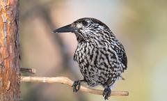 22032016-_DSC6521 Nutcracker (js-foto-lule) Tags: bird nutcracker ntkrka