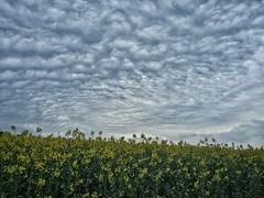Canola Field (Uwe Seiler) Tags: sky nature germany essen drama ruhr