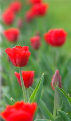 IMG_7787 (Five eyes) Tags: flowers flower holland color nature beauty garden spring dof tulips beds michigan fresh neighborhood beginning tuliptime promise lanes 2016