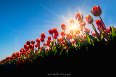 _DSC9678-Frog perspective tulips in West-Friesland (The Netherlands) (jazzmatezz) Tags: sun holland netherlands hoorn nikon tulips perspective himmel frog tulip lucht zon blauwe hemel grenouille blauer tulpen rode matahari froschperspektive tulp kikkerperspectief
