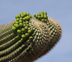 Synchronized budding (Distraction Limited) Tags: arizona cactus nature tucson buds coronadonationalforest catalinamountains saguaros catalinas sabinocanyon santacatalinamountains flowerbuds carnegieagigantea carnegiea espererotrail earthnaturelife sabinocanyon20160406