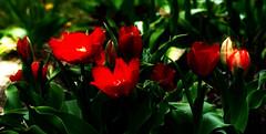 Tulips (lovesdahlias 1) Tags: flowers nature gardens spring tulips blossoms newengland bulbs