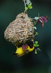 A jewel of Nature (anacm.silva) Tags: africa wild naturaleza bird nature birds wildlife natureza aves ave weaver namibia etosha frica tecelo southernmaskedweaver ploceusvelatus nambia tecelodemscara mokutietoshalodge