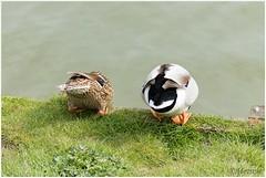 Zijn ze er nog (HP010313) (Hetwie) Tags: bird nature duck natuur eend vogel vijver muurtje brouwhuis