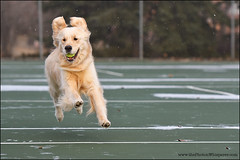 4-12 Bruno: wizard (Dave (d stop - the photon whisperer)) Tags: snow goldenretriever jump play tennis tennisball tenniscourt 12monthsfordogs 12monthsforbruno