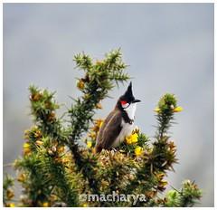 Random clicks (acharya_mr) Tags: india birds scenary tamilnadu ooty bulbul canon550d