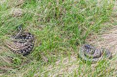 Male and female Adder (Matchman Devon) Tags: male female cove south devon viper adder hams berus ayrmer