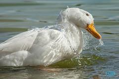 0421 IMG_4880 (JRmanNn) Tags: duck paradise lasvegas aquatic sunsetpark waterart