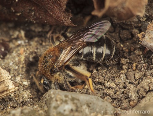 Miner bee 2016