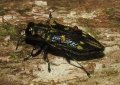 unknown metallic leaf borer (Birdernaturalist) Tags: wings costarica coleoptera buprestidae richhoyer miscinvert