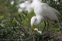 A tender moment (dbifulco) Tags: baby babies nest florida group mother behavior staugustine greategret rookery interaction nesting nestling alligatorfarm bobb2016