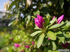 Bud of azalea |  (over_frost) Tags: japan  azalea saitama sayama