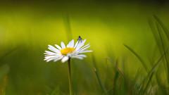 Miniature world (TanzPanorama) Tags: flower macro green nature grass closeup vintage prime miniature spring dof bokeh depthoffield m42 daisy helios442 sonynex5n